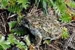 Natterjack Toad (Bufo calamita)